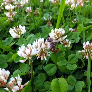 White Clover Weeds