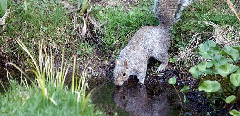 Squirrel Drinking From Pond