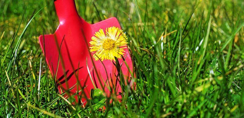 Shovel Digging Up Dandelion