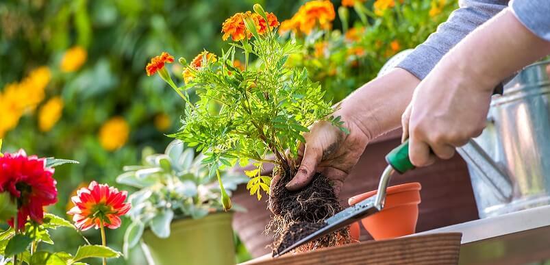 Gardeners Hand Planting Flowers In Pot