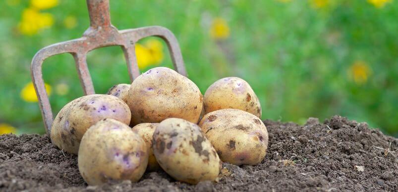 Potatoes and Garden Fork